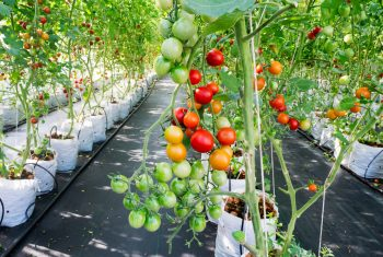 How To Grow Tomatoes Indoors